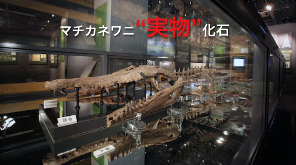 マチカネワニ実物化石